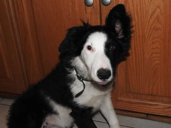 lola-border-collie
